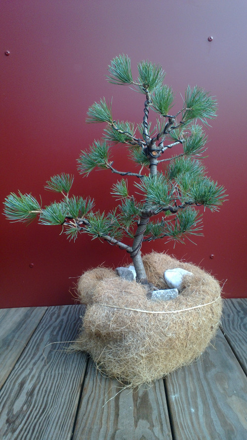 My bonsai, end of 2013, ready for winter